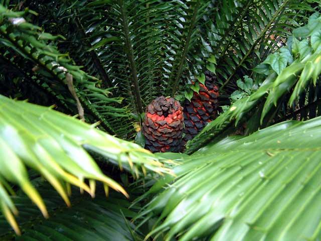 Encephalartos hildebrandtii Hildebrandtii02