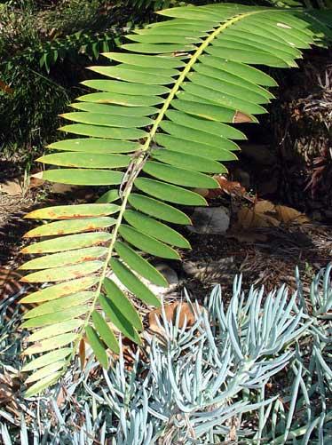 Encephalartos manikensis Manikensis