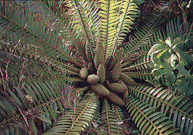 Encephalartos septentrionalis Septentrionalis