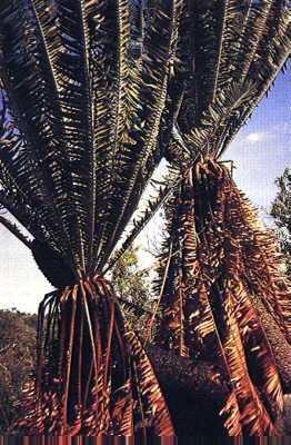Encephalartos septentrionalis Septentrionalis02