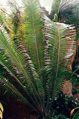 Encephalartos tegulaneus Tegulaneus-01