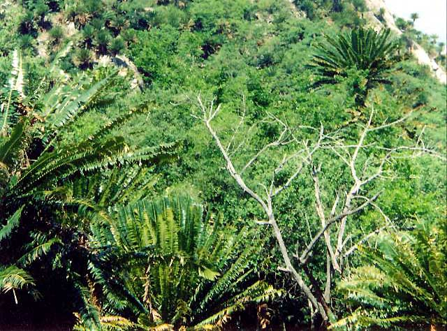 Encephalartos transvenosus Transvenosus02