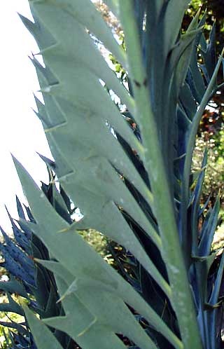 Encephalartos trispinosus Trispinosus