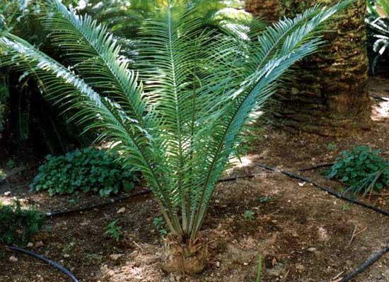 Encephalartos umbeluziensis Umbeluziensis