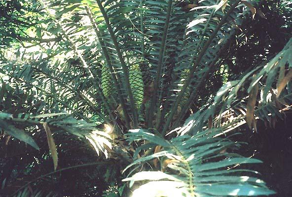 Encephalartos whitelockii Whitelockii04