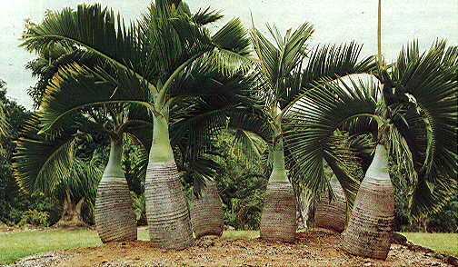 Hyophorbe lagenicaulis for Vendo plantas ornamentales