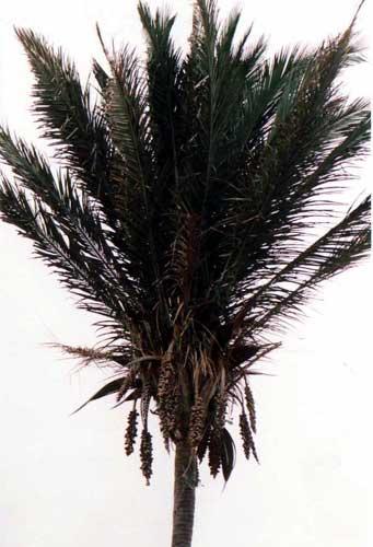 Attalea Speciosa Pacsoa Attalea speciosa (babassu, babassu palm, babaçu, cusi) is a palm native to the amazon rainforest region in south america. pacsoa