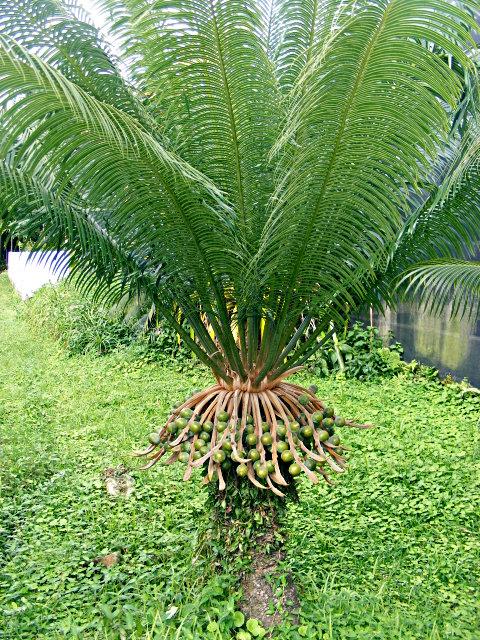 Cycas Circinalis Pacsoa