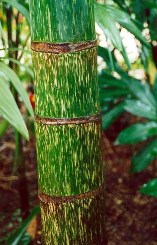 Chambeyronia Macrocarpa Pacsoa