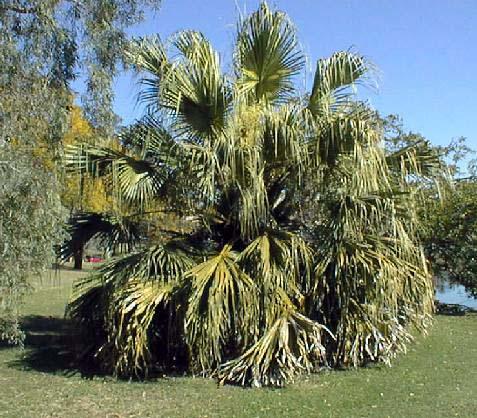 chinese fan palm fruit - photo #39