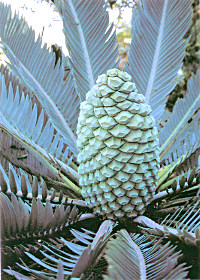 File:FrontCycad.jpg